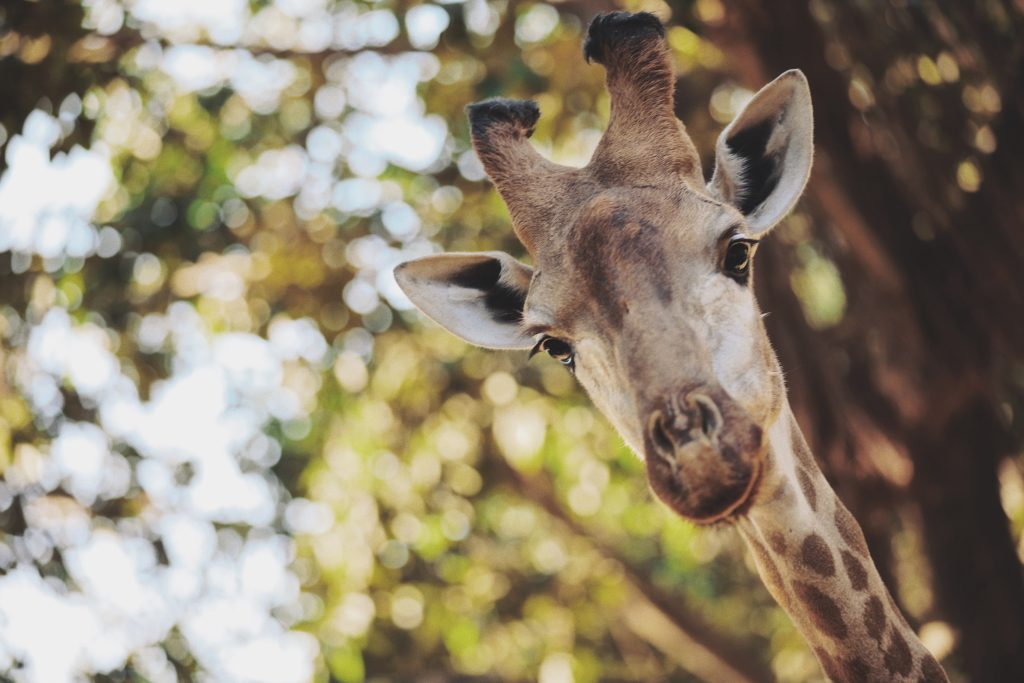 Giraffe: Photo by Teddy from Pexels